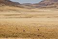 Damaraland Oryx (3690390566).jpg