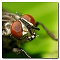 Dambordvlieg - flesh fly - even closer (4120663208).jpg