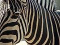 Darica zebra 02283.JPG