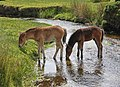 Dartmoor ponies grazing and drinking - Flickr - exfordy.jpg
