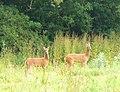 Deer, Deer - geograph.org.uk - 1363728.jpg