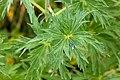 Delphinium geraniifolium - Flickr - aspidoscelis.jpg