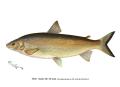 Denton Whitefish 1896.png