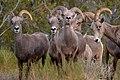 Desert Bighorn Sheep (65b46f47-6b47-4f0d-8c30-7311af13b498).jpg