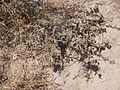 Desert plants 20.JPG