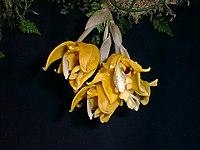 Dick Hartley PIC00015 - Stanhopea peruviana.jpg