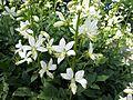 Dictamnus albus 'Albiflorus' 01.JPG