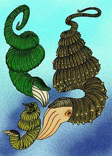 <i>Didymoceras</i> genus of molluscs (fossil)
