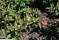 Diervilla sessilifolia Butterfly 1zz.jpg
