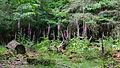 Digitalis purpurea - Purple Foxglove - Roter Fingerhut - Hesse - Germany - 30.jpg