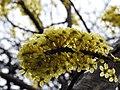 Dillenia pentagyna flowering by Dr. Raju Kasambe DSCN1362 (19).jpg