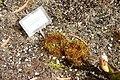 Dionaea muscipula - Orto botanico - Rome, Italy - DSC09968.jpg