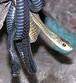 Dispholidus typus-- Boomslang snakes (21999257735).jpg
