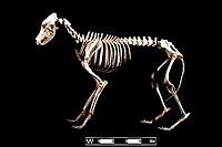 "Dobermann dog. ""Canis lupus familiaris"".jpg"