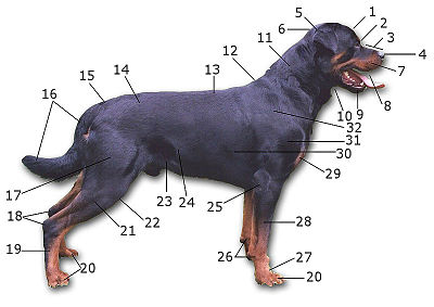 Dog anatomy.jpg