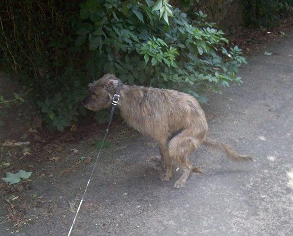 diarrea-perro