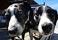 Dogs noses. (12313095895).jpg