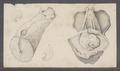 Dolabella spec. - - Print - Iconographia Zoologica - Special Collections University of Amsterdam - UBAINV0274 091 08 0002.tif