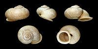 Dorcasia alexandri 01.JPG