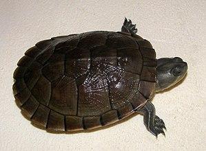Cuban slider - Image: Dossière de Trachemys decussata angusta