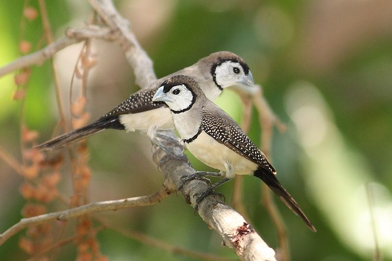 Tập tin:Double-barred-finch444.jpg