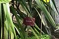 Dracaena draco, Conservatoire botanique national de Brest 01.jpg
