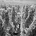 Druivenplukster aan het werk, Bestanddeelnr 254-4154.jpg