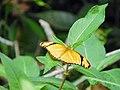 Dryas iulia ( Nymphalidae ).jpg