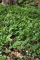 Duben kalamandra 11.jpg