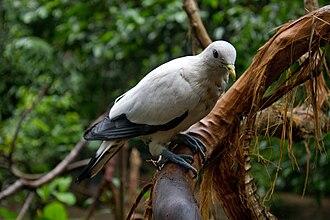 Torresian imperial pigeon - In Queensland, Australia