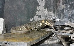 Dumeril's monitor in Pata Zoo.jpg