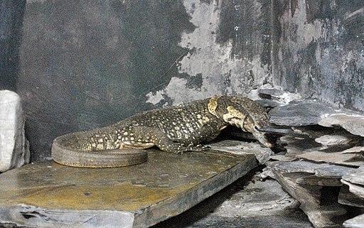 Dumeril's monitor in Pata Zoo