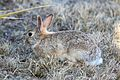 EASTERN COTTONTAIL (Sylvilagus floridanus) (4-13-2016) prowers co, co (1) (26819639136).jpg