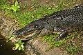 EEEee crocodile cebu zoo 1a.jpg