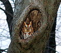Eastern Screech Owl-red-phase2.jpg