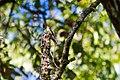 Eastern wood-pewee (30108657062).jpg