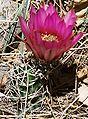 Echinocereus fendleri1.jpg