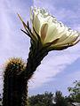 Echinopsis (2).jpg