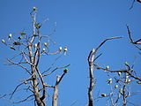 Edgewater parrots1.JPG