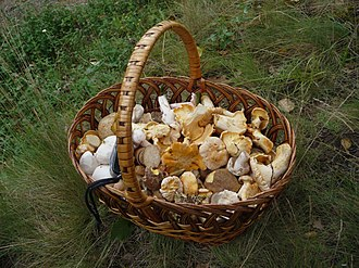Edible mushroom - Assorted picked edible mushrooms in a basket