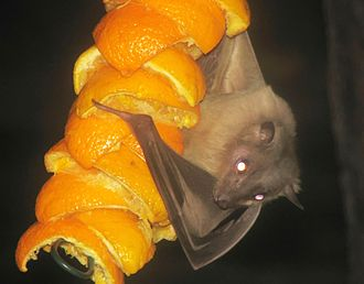 Egyptian fruit bat - An Egyptian fruit bat clings to pieces of orange at the Cotswold Wildlife Park, England