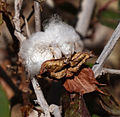Eilat Botanical garden - cotton.jpg