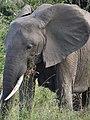 Elephant - Mikumi National Park - Tanzania - 01 (8893651068).jpg