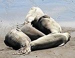 Elephant Seals 2 (15391452850).jpg