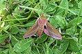 Elephant hawk moth.mittlerer Weinschwaermer 2.jpg