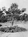Eleusine plant, associated with Amatangi magic. Wellcome M0005688.jpg