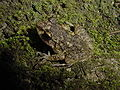 Eleutherodactylus cuneatus02.jpg