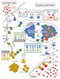 Eliciting humoral and cellular responses through vaccination.webp