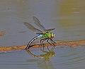 Emperor dragonfly.jpg