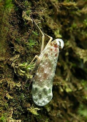 Simarouba amara - The lantern bug, Enchophora sanguinea is found preferentially on the trunks of S. amara